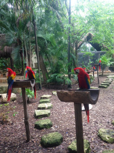 Scarlet Macaws in Xcaret